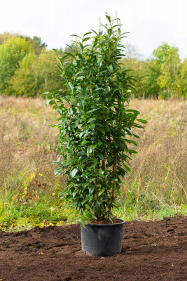 Cherry Laurel (Prunus laur 'Genolia')
