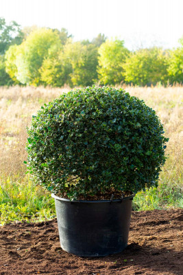 Common Holly Topiary (Ilex aquifolium)