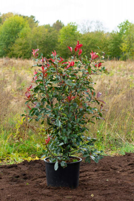 Photinia (Photinia fraseri 'Red Robin')