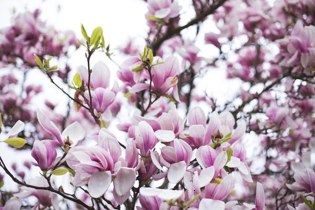 Form Plants and London Stone is where you can now purchase plants such as this Magnolia Soulangeana Shrub