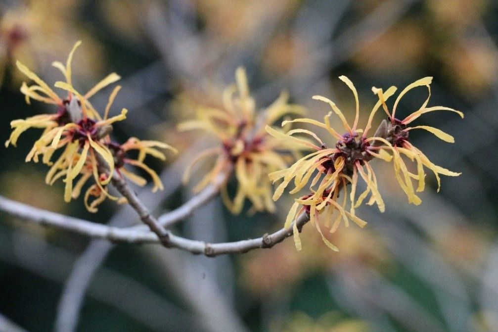 3. Hamamelis x intermedia 'Harry'